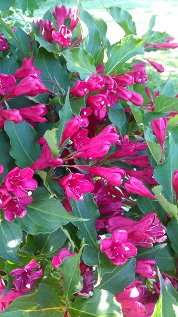 PEI's flowers